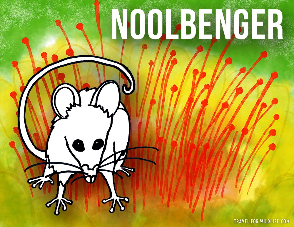 Noolbenger is a species of possum