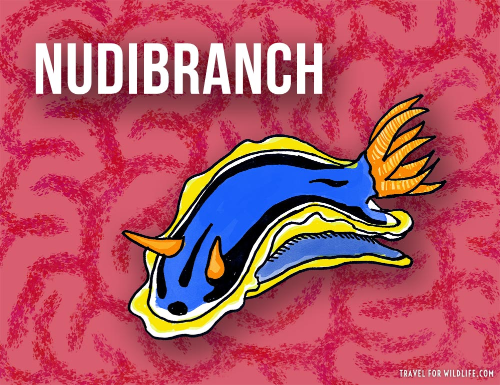 Animals that start with n - Nudibranch illustration