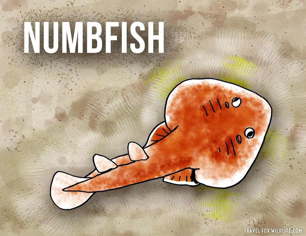 Animals that start with n - Numbfish illustration