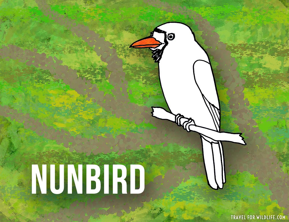 Animals that start with n - Nunbird illustration