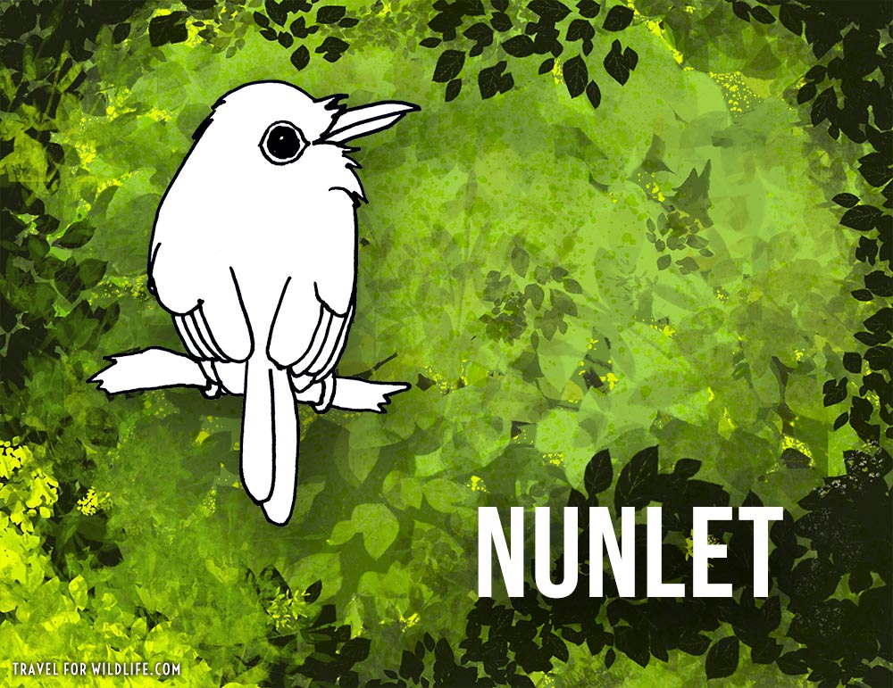 Animals that start with n -Nunlet bird illustration