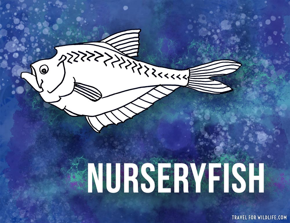 Animals that start with n - Nurseryfish illustration