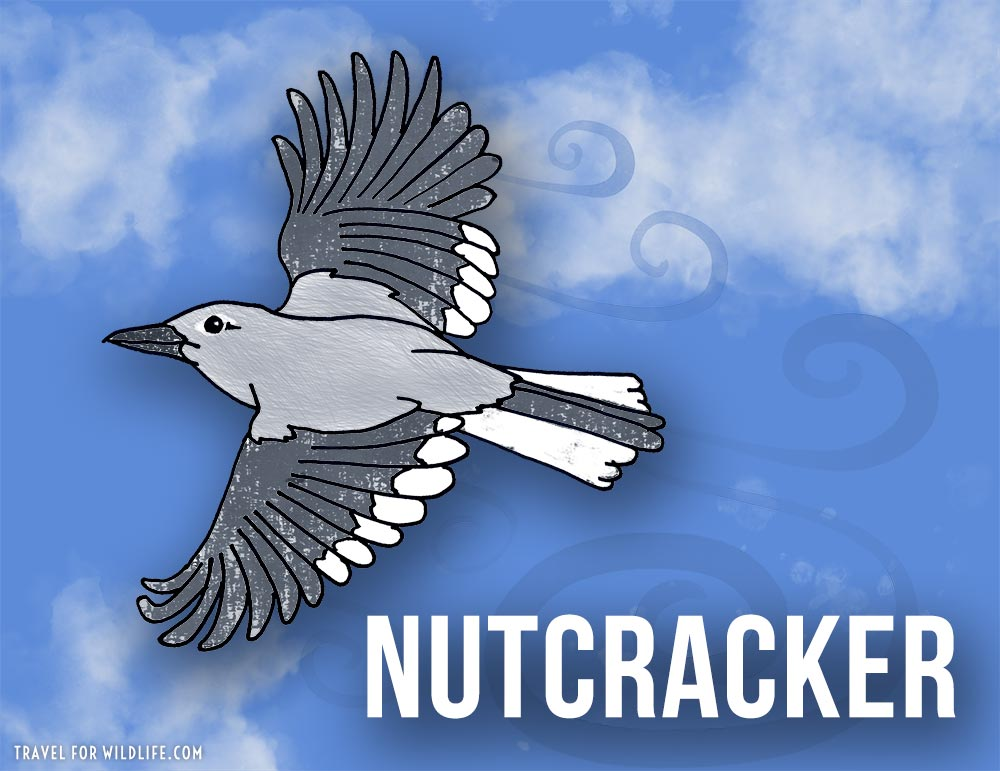 Animals that start with n - Clark's Nutcracker illustration