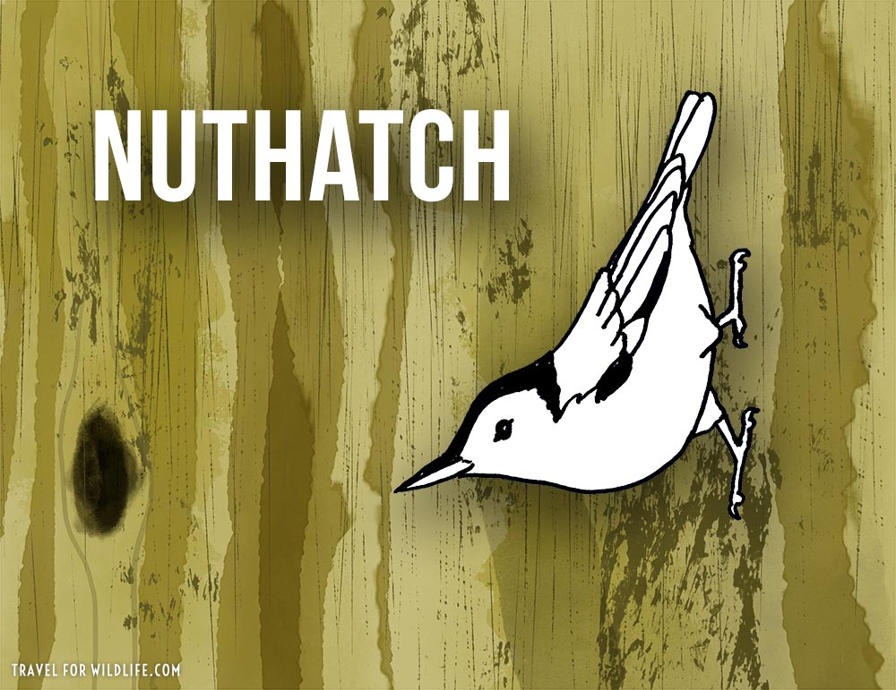 Animals that start with n - Nuthatch illustration