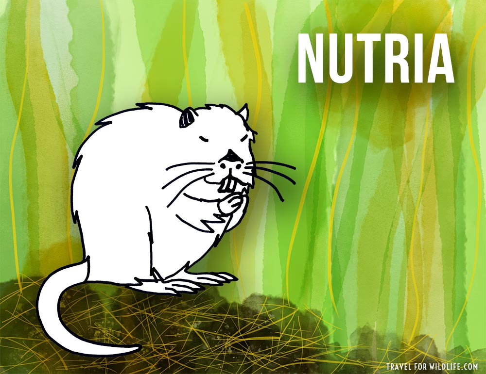 Animals that start with n - Nutria illustration