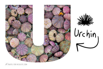 Animals That Start With U: Urchin
