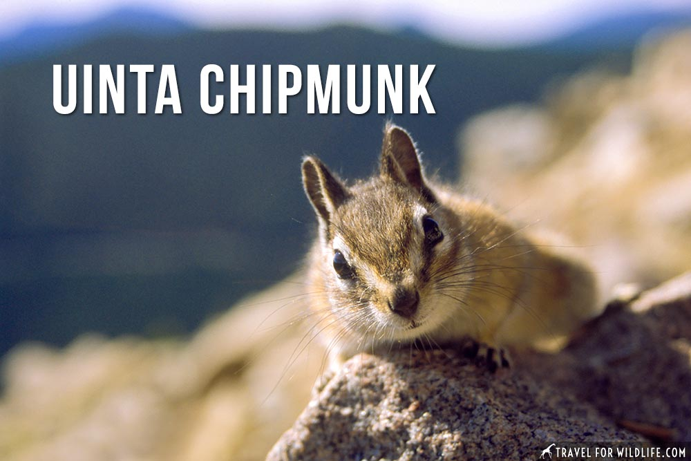Animals that start with U: Uinta Chipmunk