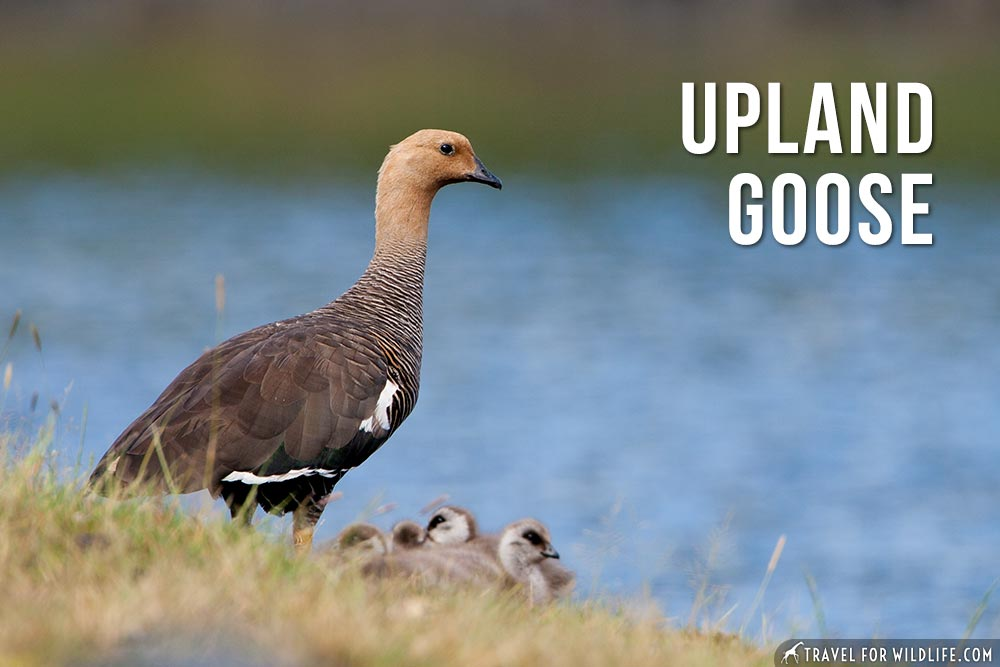 Animals That Start With U, Upland Goose