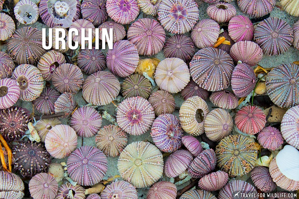 animals that start with u, urchin