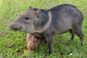 Collared Peccary and baby in the Pantanal, Brazil
