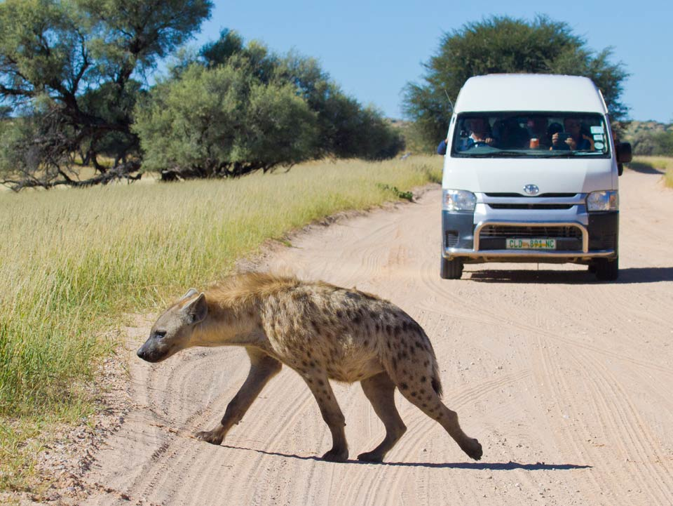Hyena on a South African safari