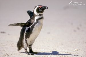 South African penguin, Simon's Town, South Africa