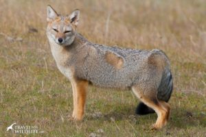 South American Grey Fox (Lycalopex griseus) in southern Patagonia. Tierra Del Fuego, Chile.