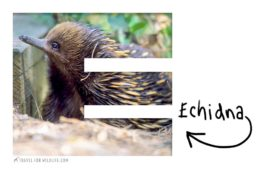 animals that start with an e (echidna)