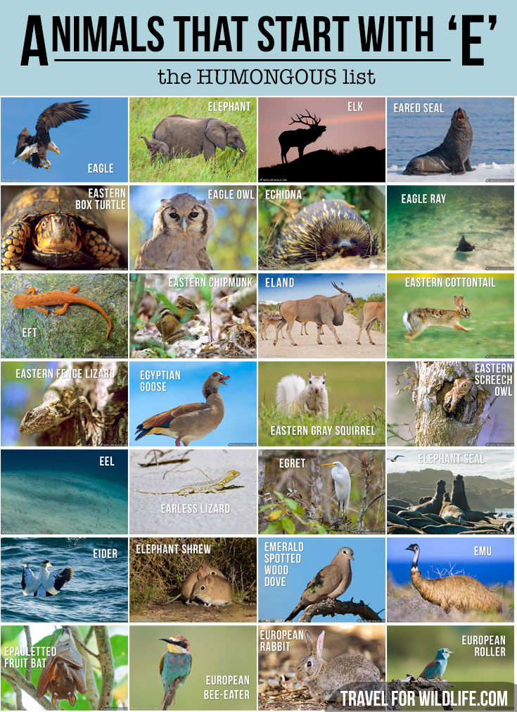 Animals that start with an e, the Humongous list!
