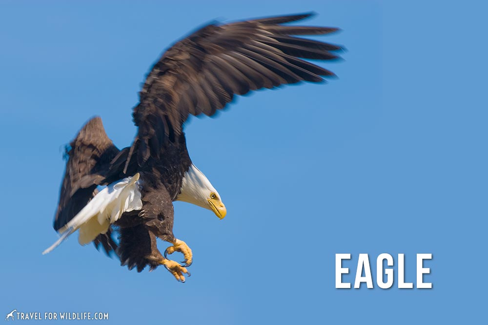 animals that start with an e: eagle