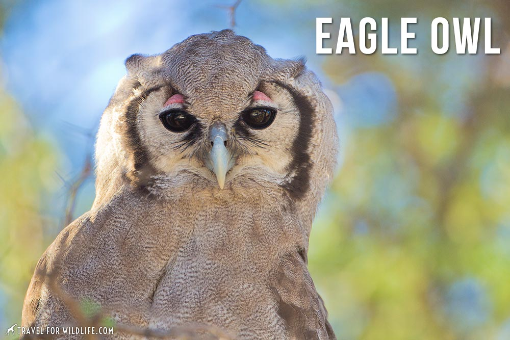 animals that start with an e: Eagle Owl