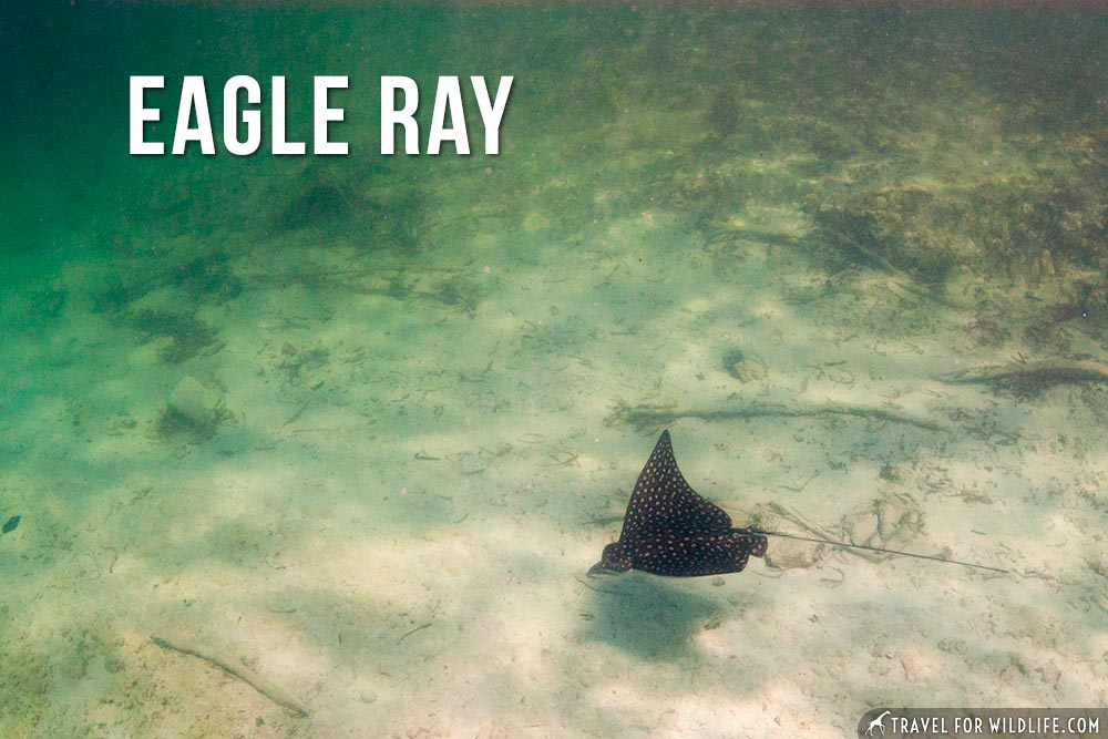 animals that start with an e: Eagle Ray