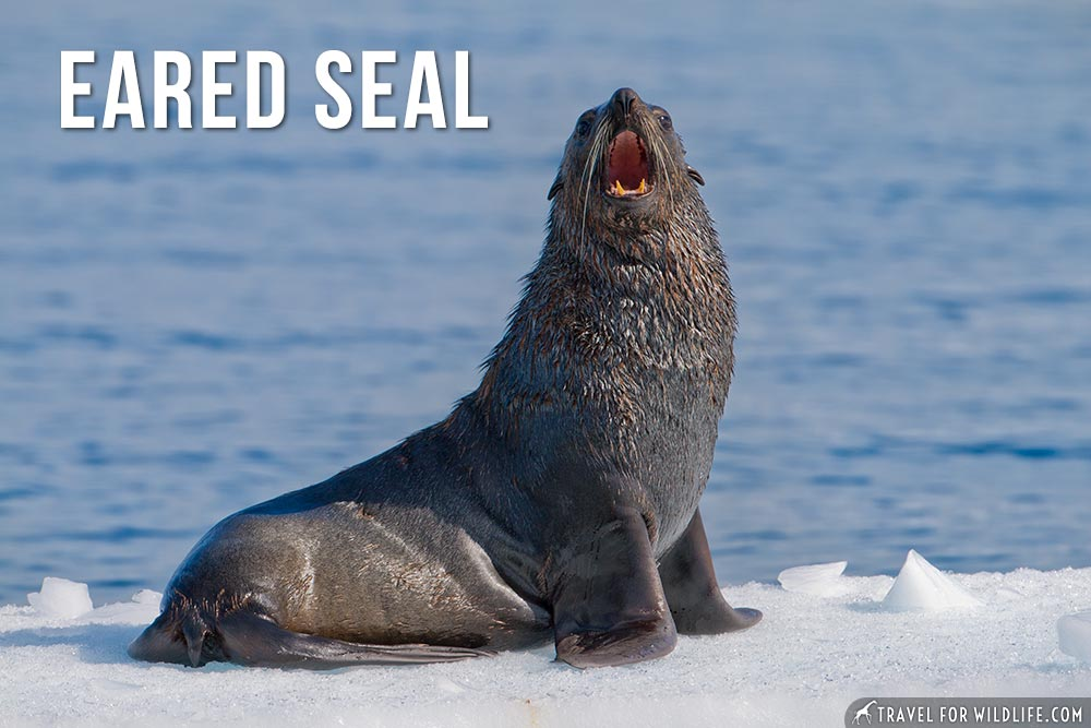 animals that start with an e: Eared Seal