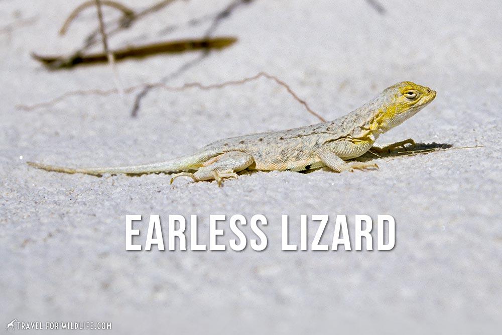 animals that start with an e: earless lizard