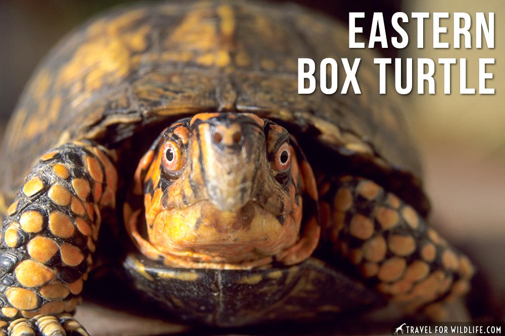 animals beginning with e: Eastern Box Turtle