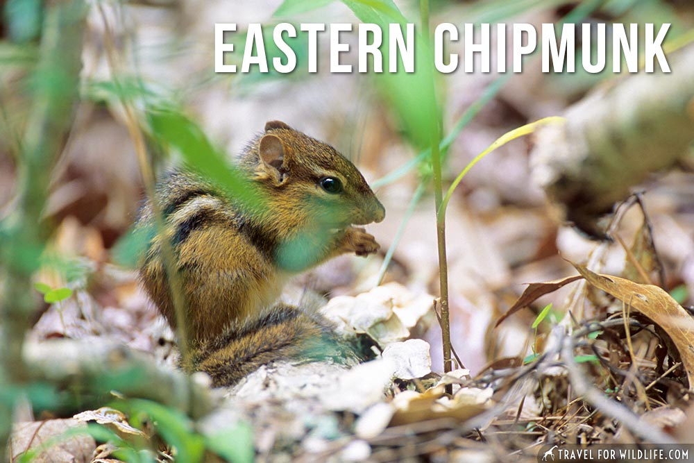 animals that start with an e: Eastern Chipmunk