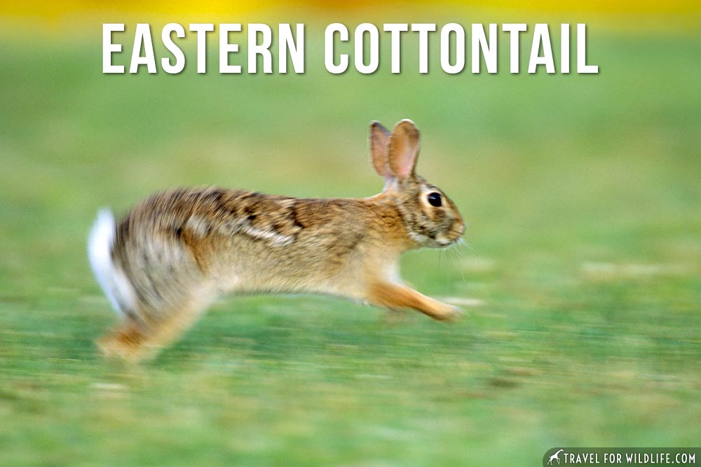 Animals Beginning with E: Eastern Cottontail