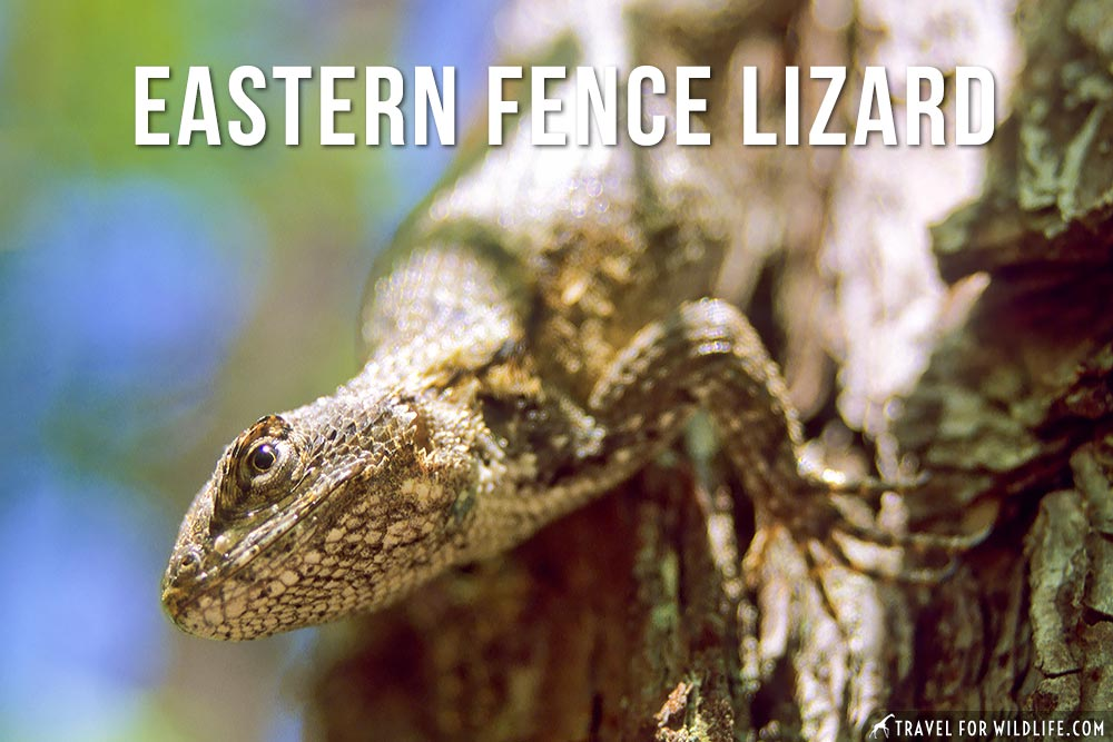 Animals that start with E: Eastern Fence Lizard