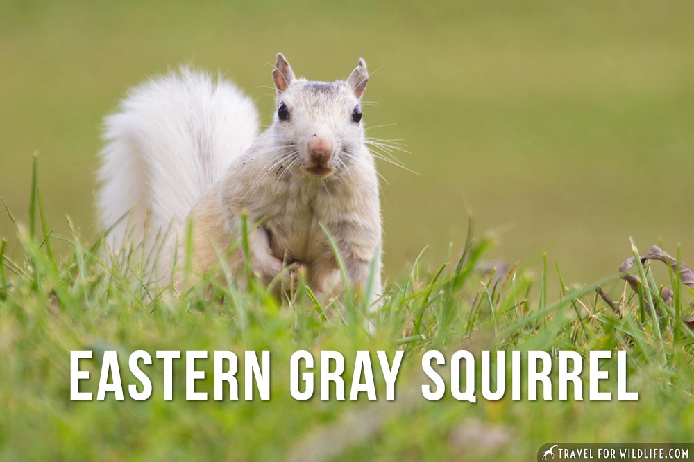 animals that begin with e: Eastern Gray Squirrel