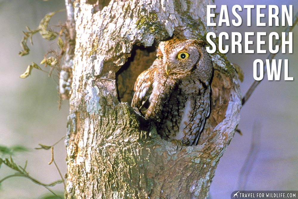 Animals that start with an E: Eastern Screech Owl