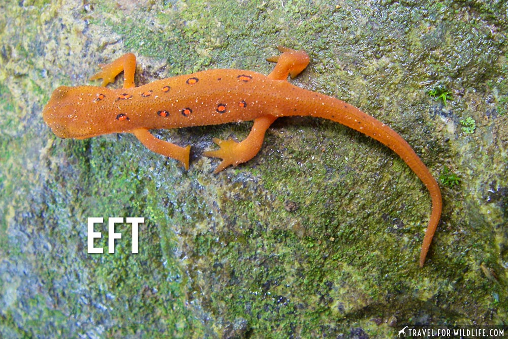 animals that start with an e: Eastern Newt Eft
