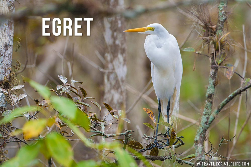 animals that start with an e: egret