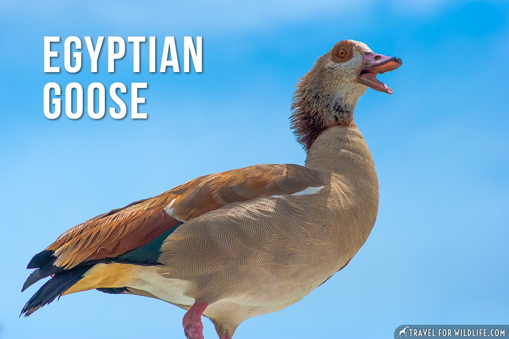 animals that start with an e: Egyptian Goose