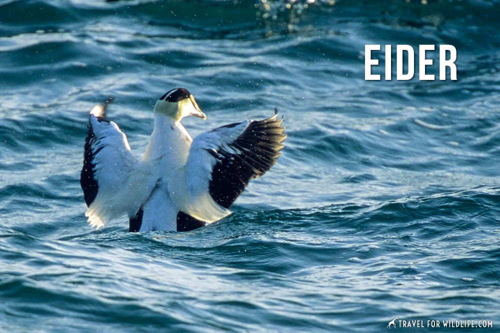 animals that start with an e: eider
