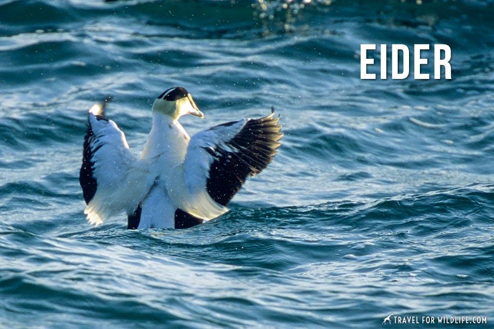 animals that start with an e: eider