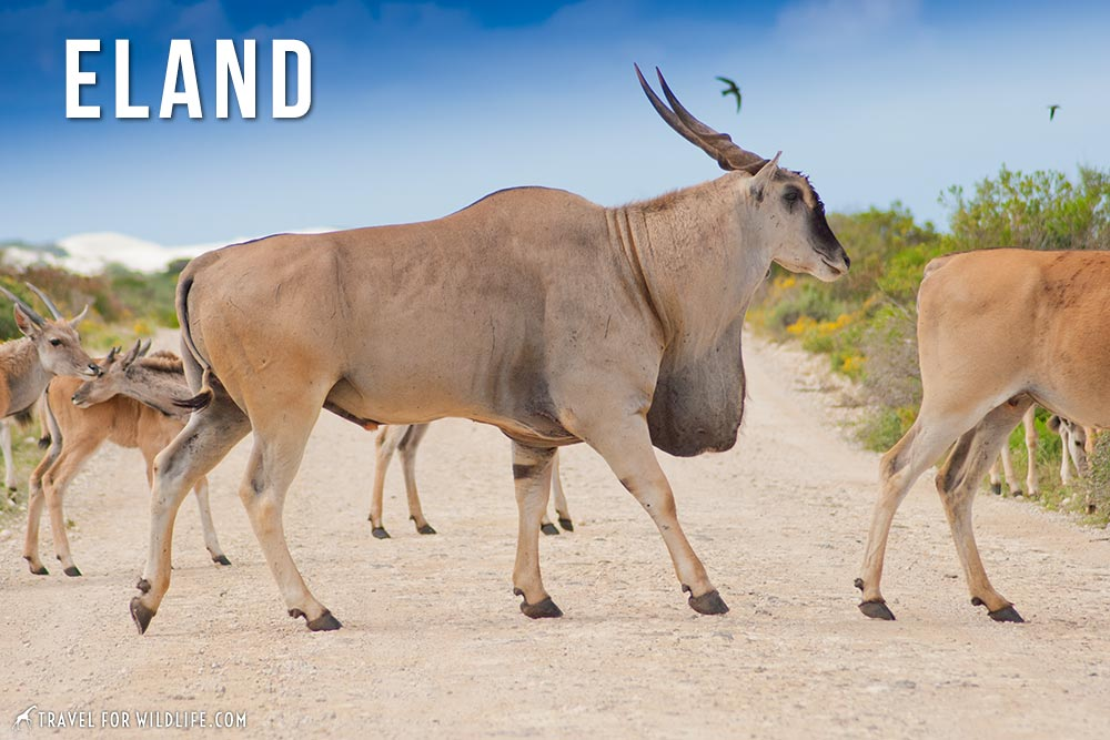 animals that start with an e: eland