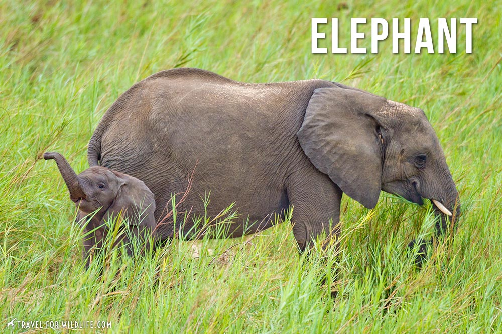 animals that start with an e: elephant
