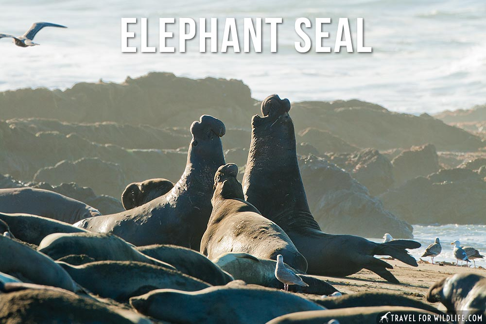 animals that start with an e: Elephant Seal