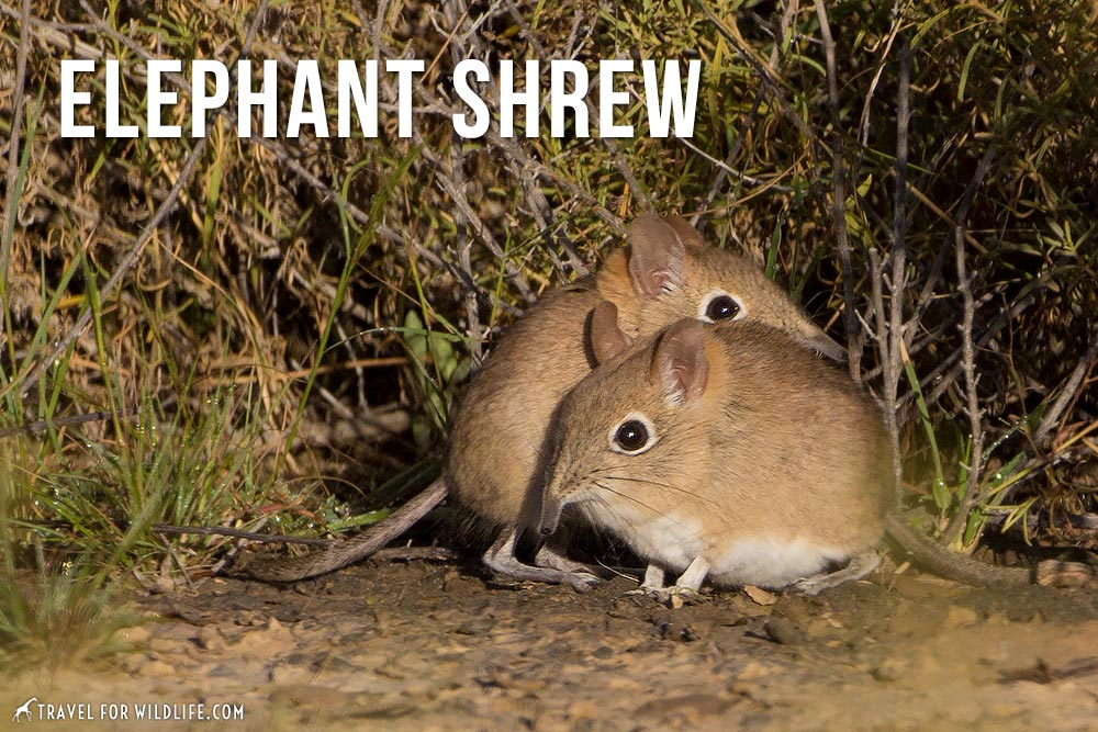 animals that start with an e: Elephant Shrew
