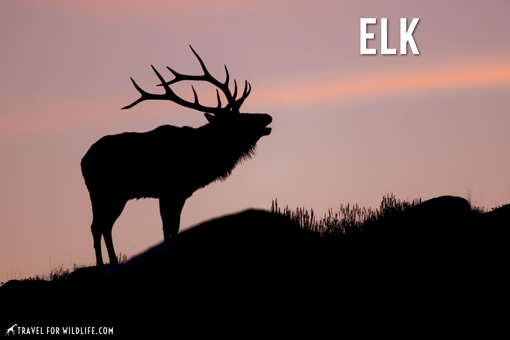 animals that start with an e: elk