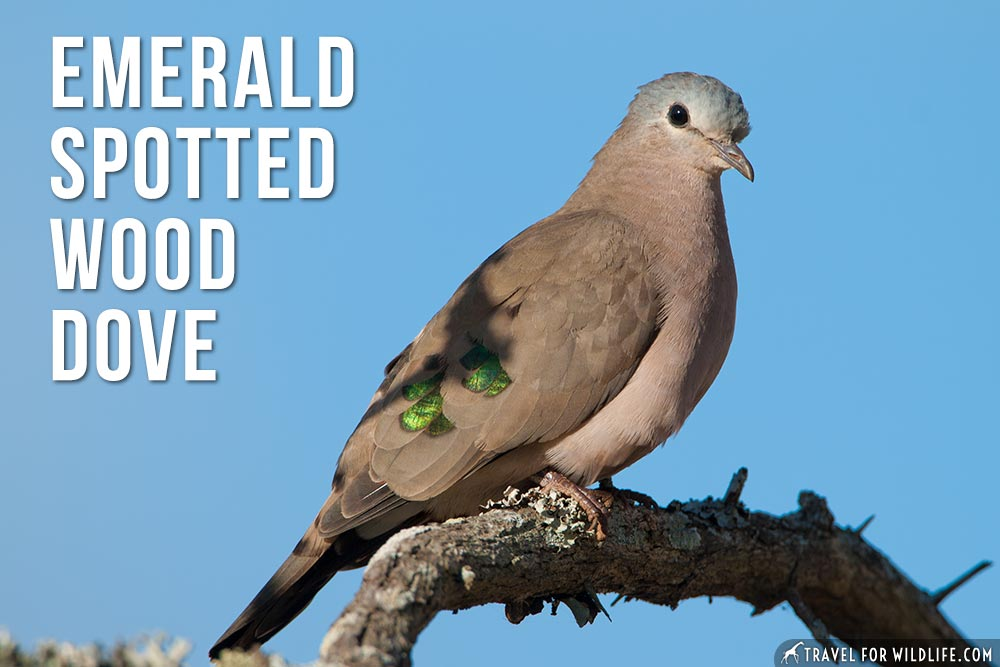 animals that start with an e: Emerald Spotted Wood Dove