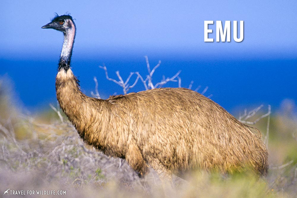 animals that start with an e: Emu