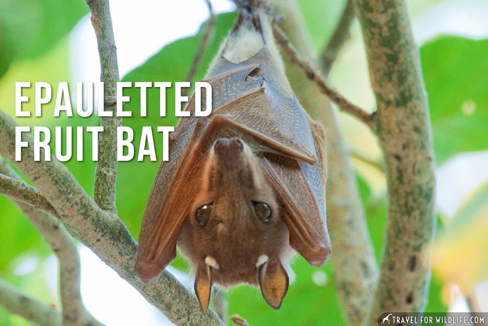 animals that start with an e: Epauletted Fruit Bat