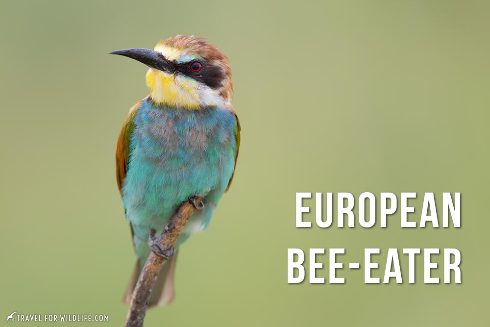 animals that start with an e: European Bee-Eater
