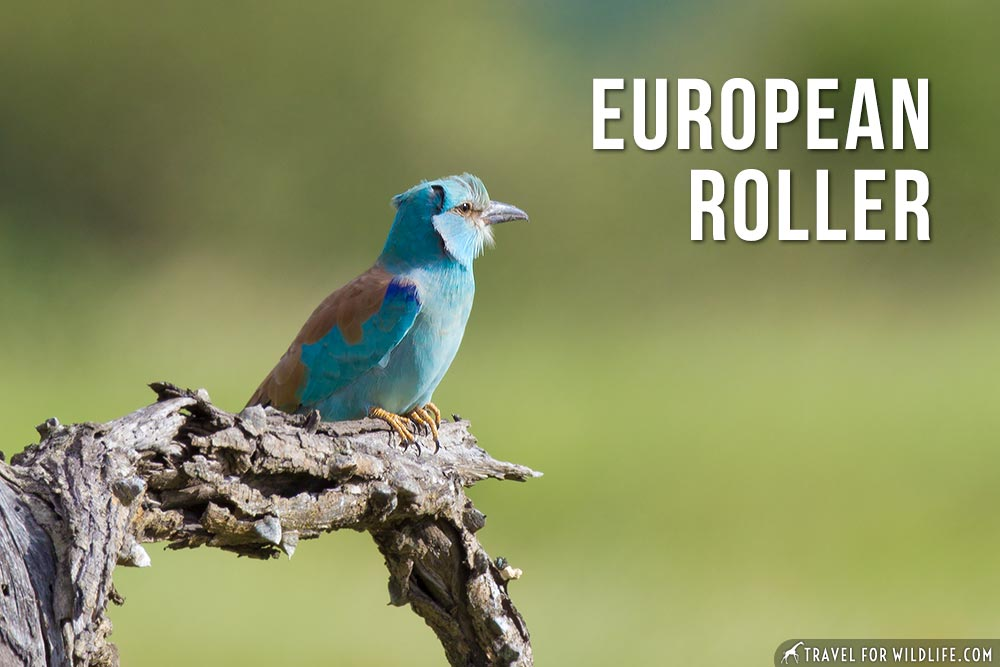 animals that start with an e: European Roller