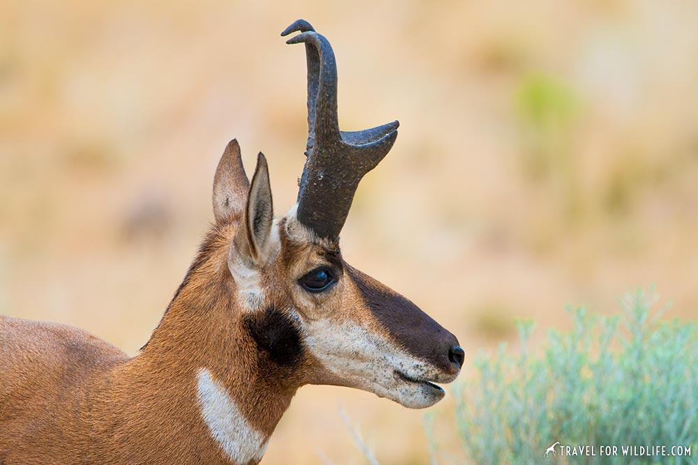 pronghorn antelope island, Utah