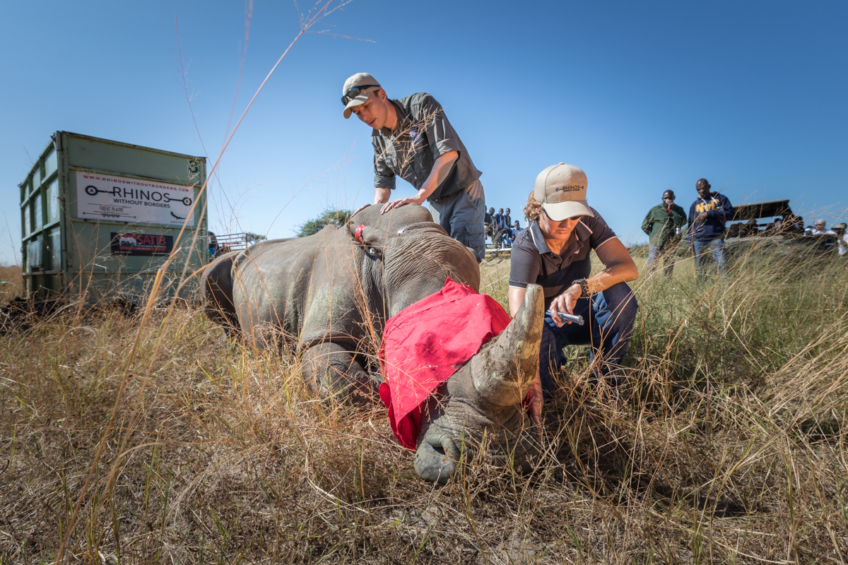 Checking on this rhino vitals before its relocation