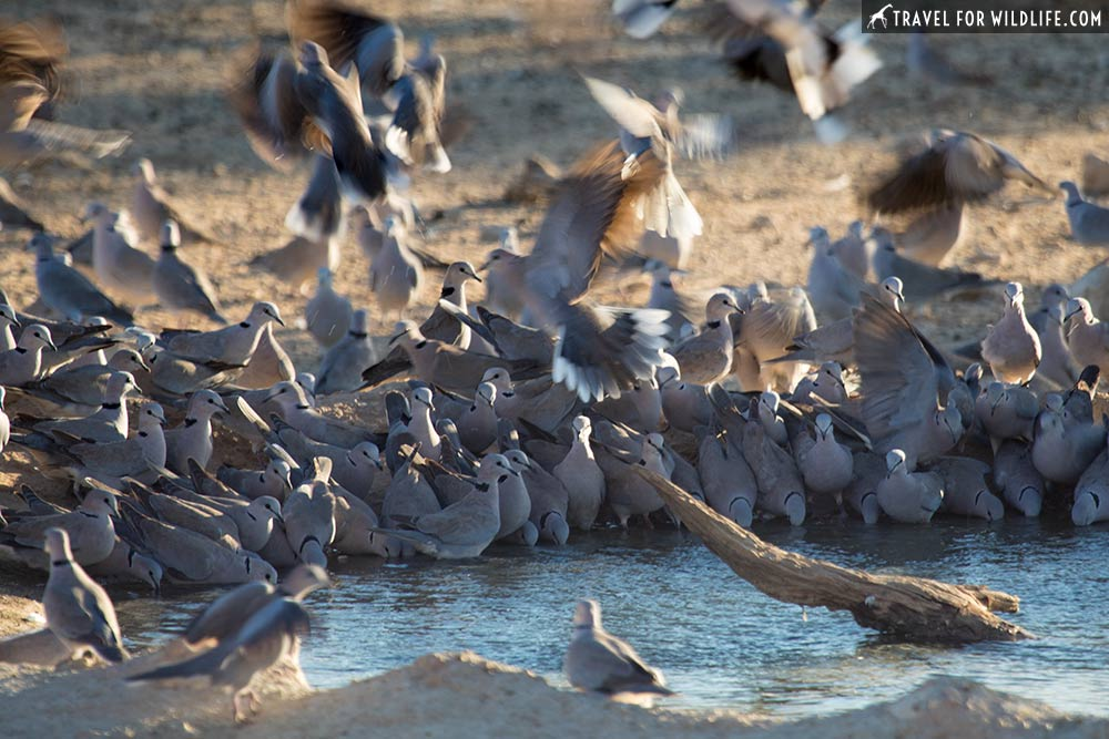 doves drinking water in the Kalahari