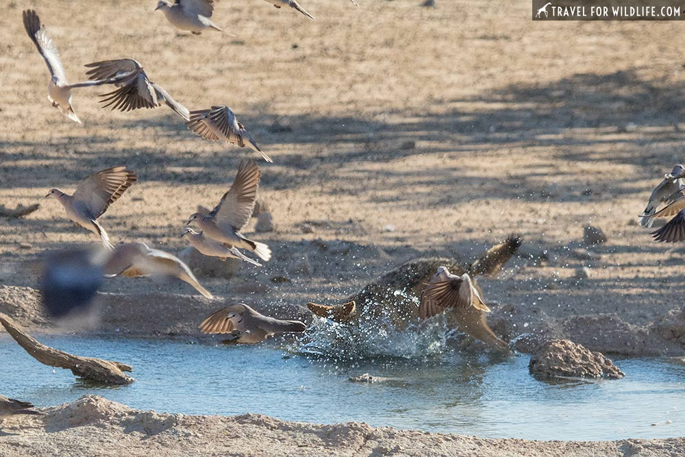 jackal catching a dove in the Kgalagadi Transfrontier Park