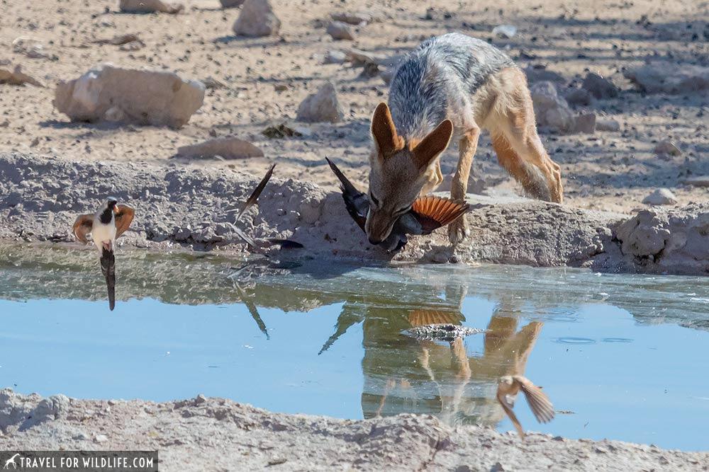 jackal hunting Namaqua dove, Kalahari